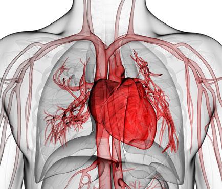 Sangre, Corazón y Circulación